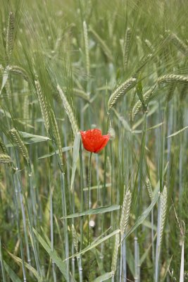 Poppy with Wheat
