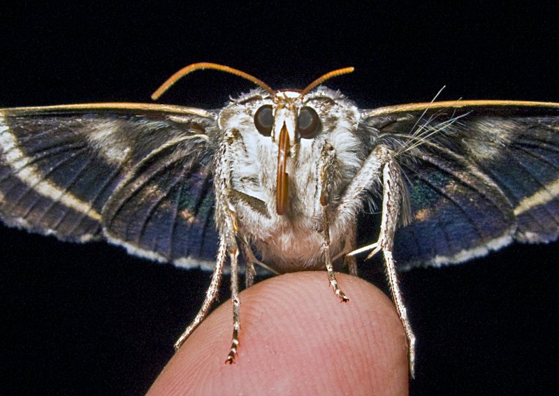 Moth with Hairy Leg