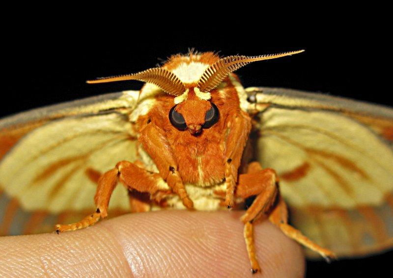 Royal Walnut Moth on Finger