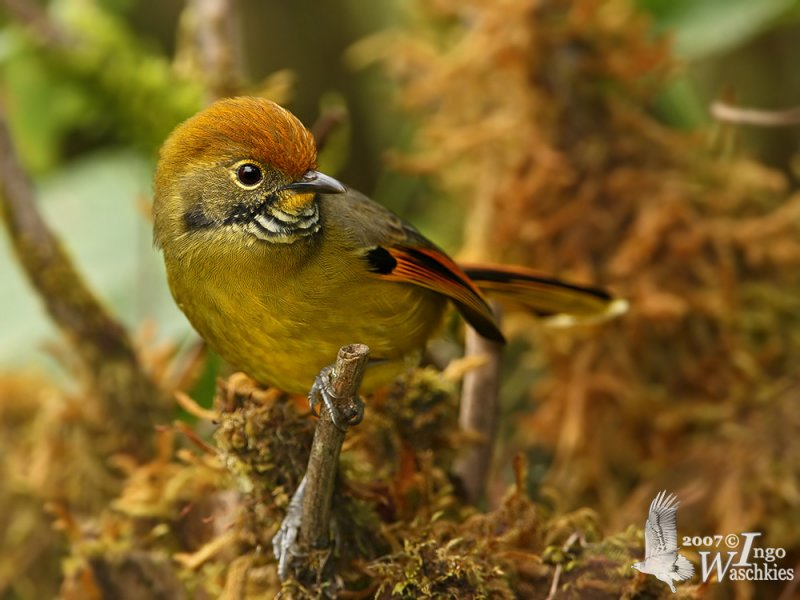 Adult Chestnut-tailed Minla