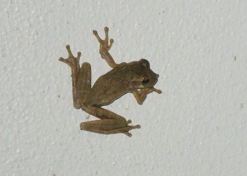 Veined Tree Frog (Phrynohyas venulosa)