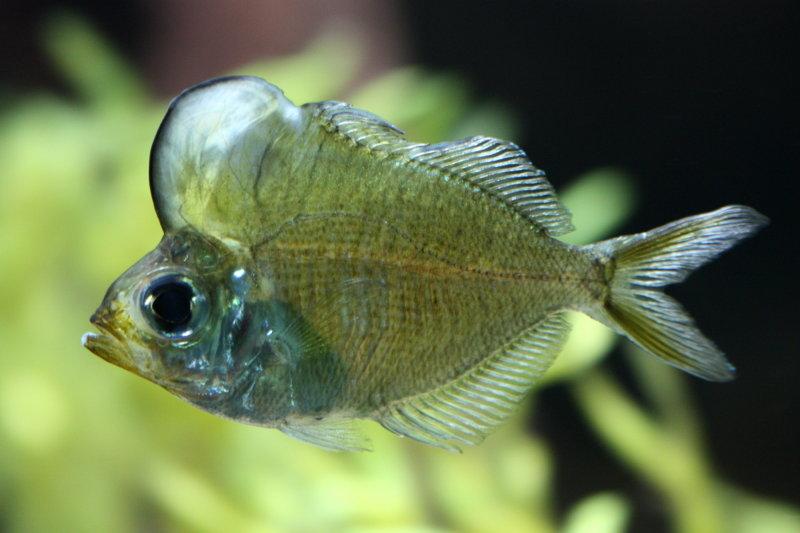 Humphead Glassfish (Parambassis pulcinella)