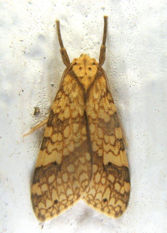 Tiger Moth (Lophocampa sp.)