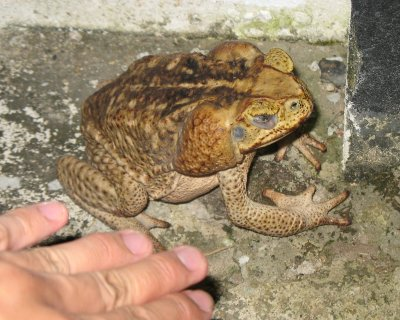 Marine Toad (Bufo marinus)