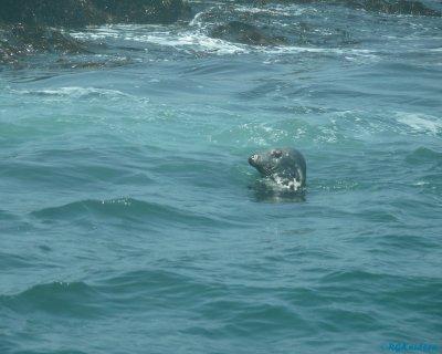 Machias Seal Island - Original inhabitant