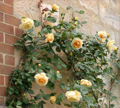 Cl. Lady Hillingdon - a tea rose
