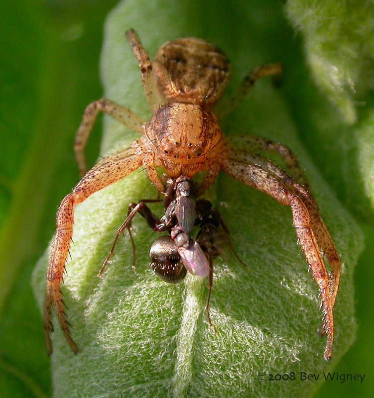 Xysticus spider with ant prey and kleptoparasitic flies