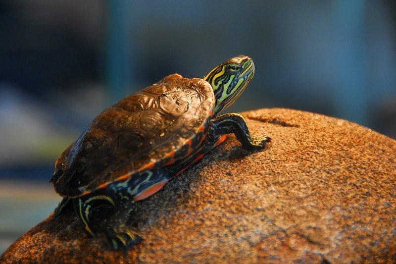 Junior Turtle