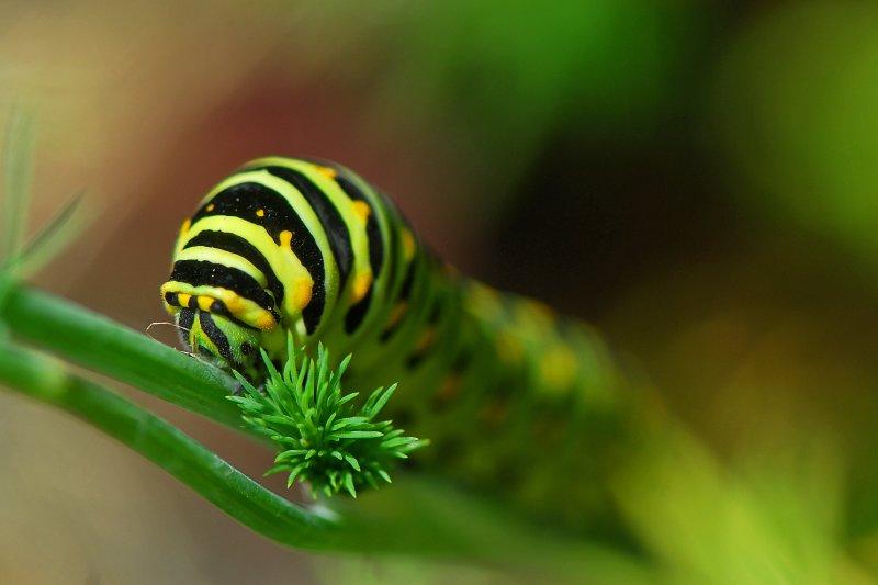 Black Swallowtail larva
