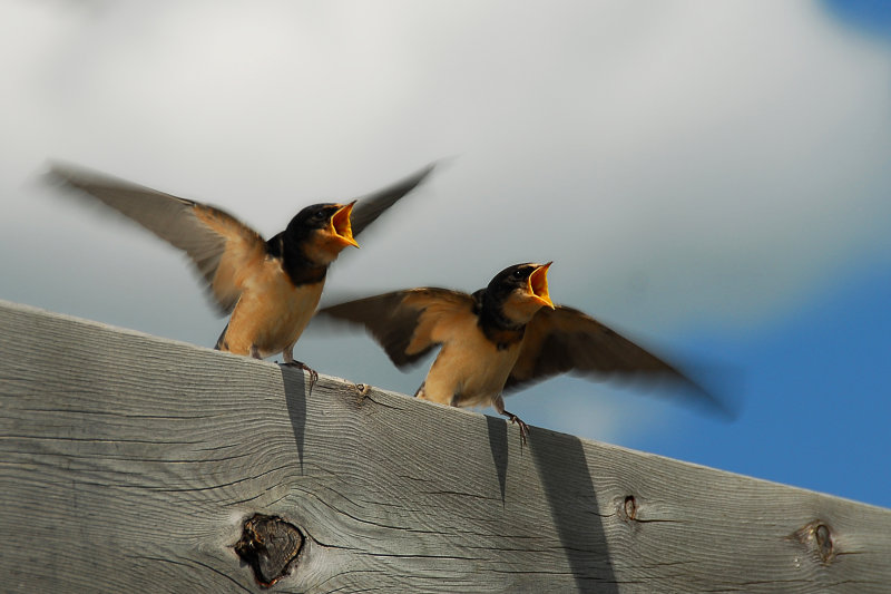 Two very hungry swallows