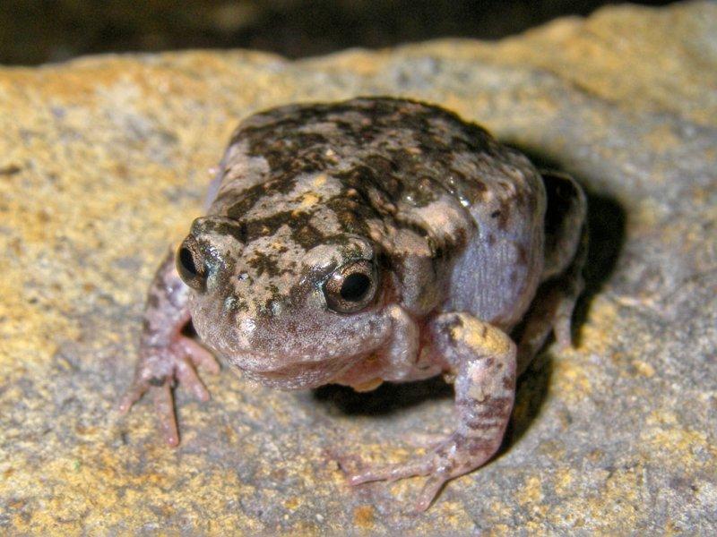 Mimic toadlet or gungan, <i>Uperoleia mimula</i> IMGP0527