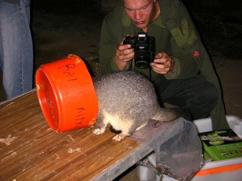 Possum that couldnt wait for bait IMGP0538