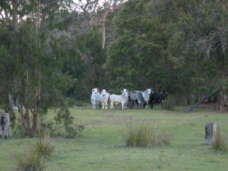 Cattle keeping their distance (Lara Fine)