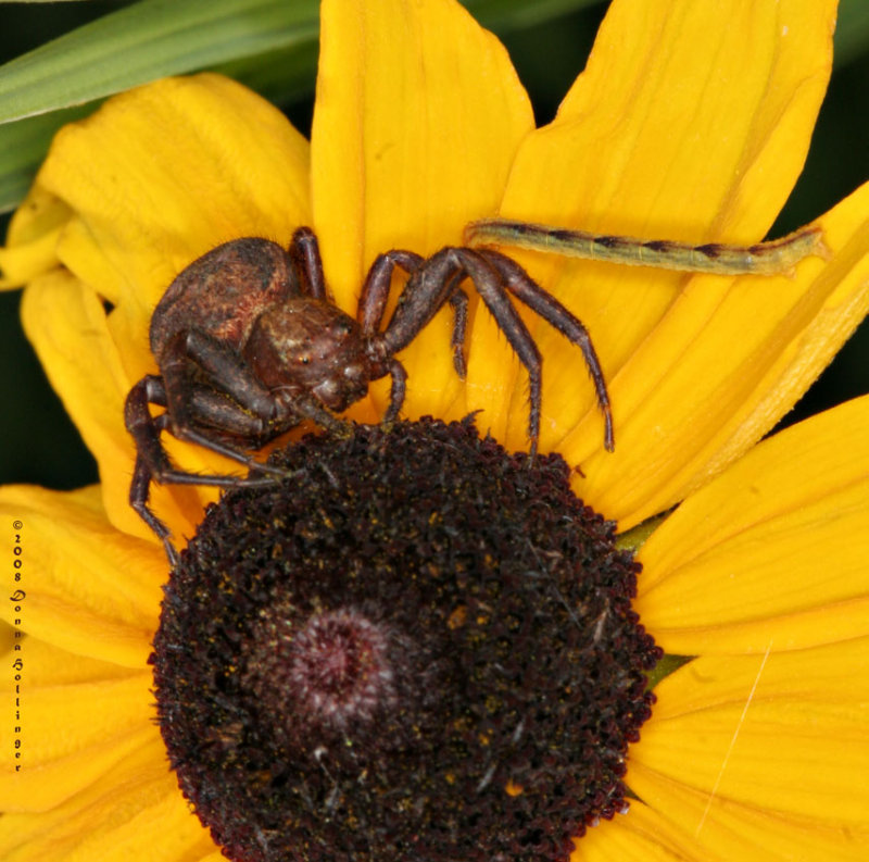 Elegant  Crab Spider Ready To Eat!