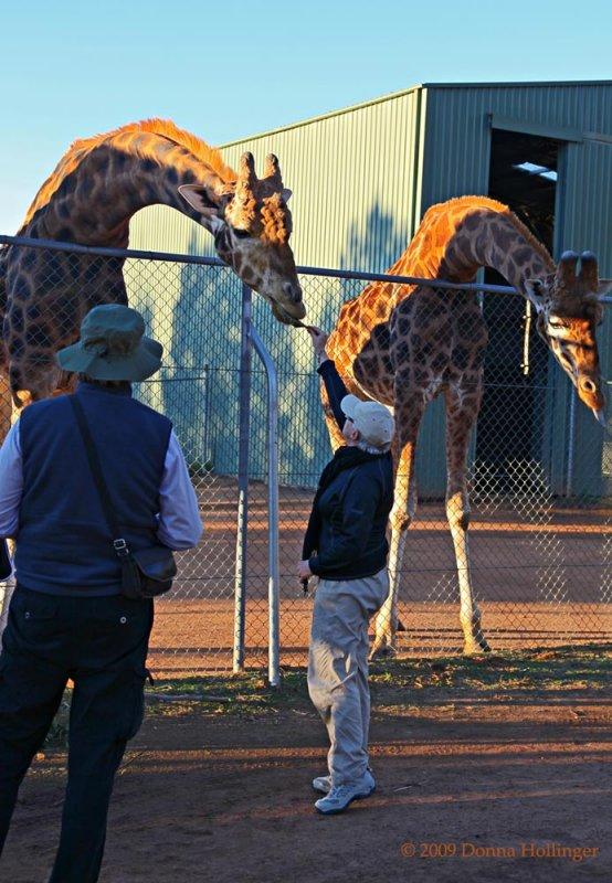 Jan feeding the Giraffes