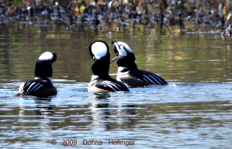 Confering Hooded Mergansers, Three Males