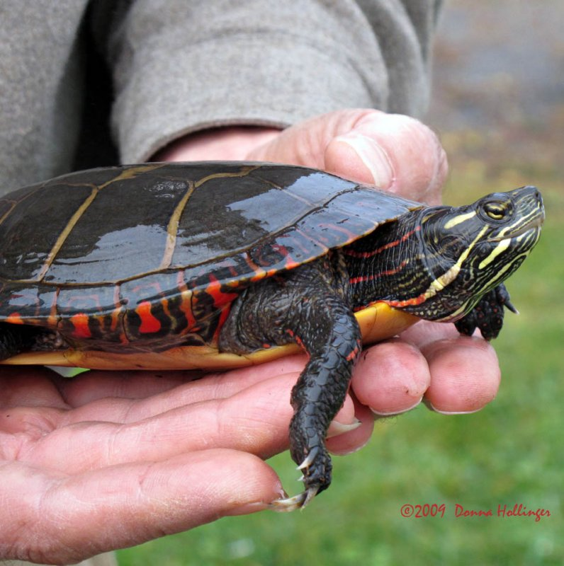 Peter rescued a painted turtle