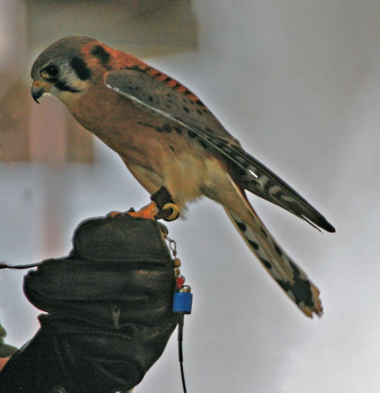 A little Hawk [Falco sparverius]