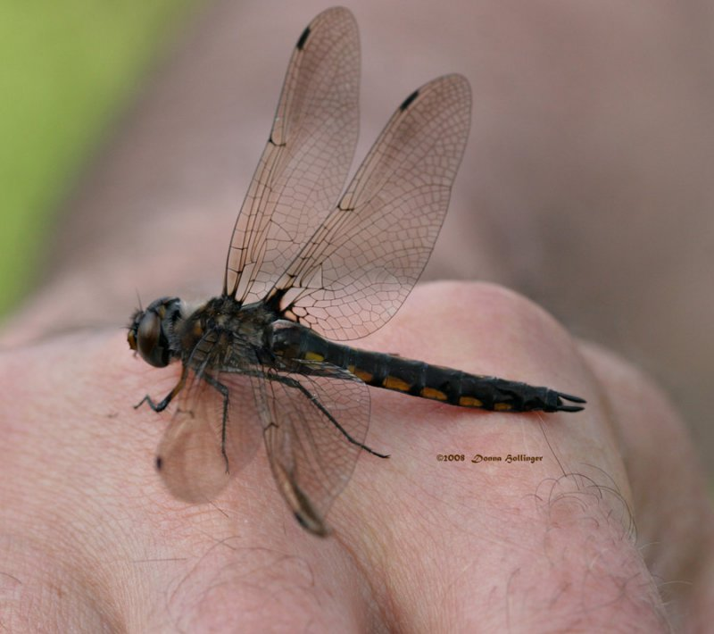 Rescued Dragonfly
