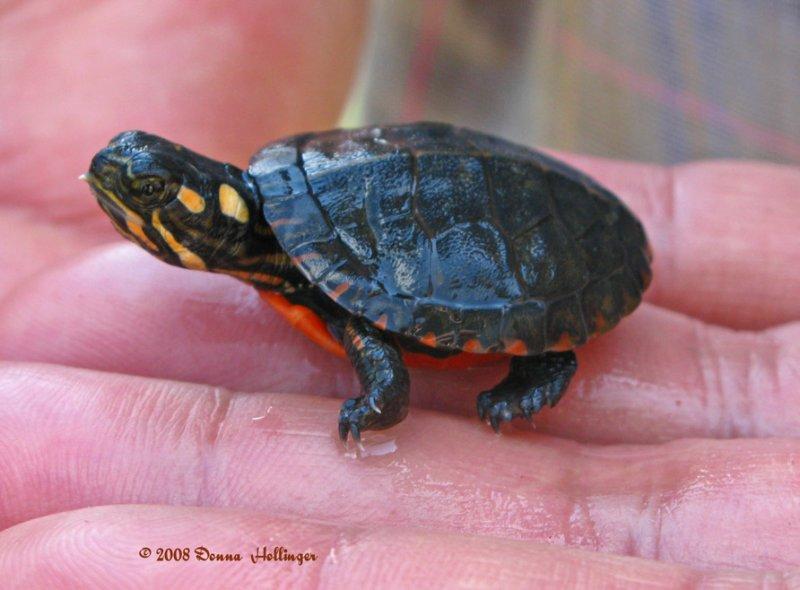 Newborn Painted Turtle