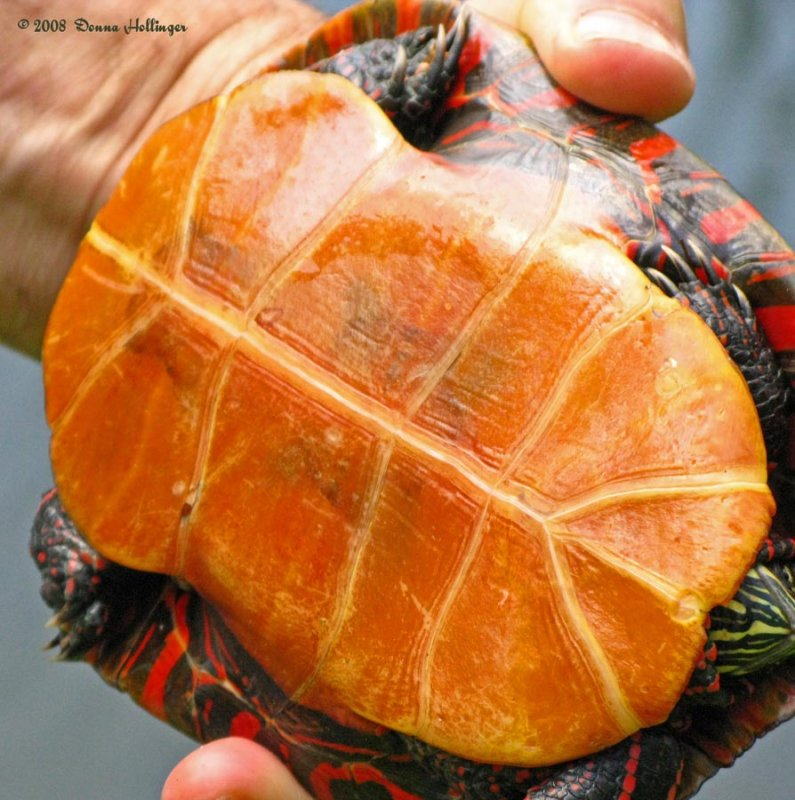 Painted Turtle Belly