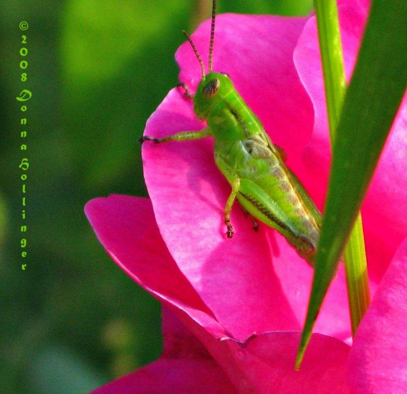 Grasshopper babies