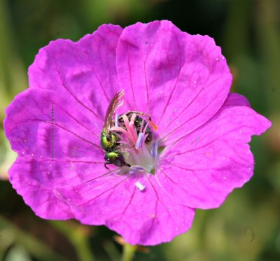 Augochlora Green Metallic Bee