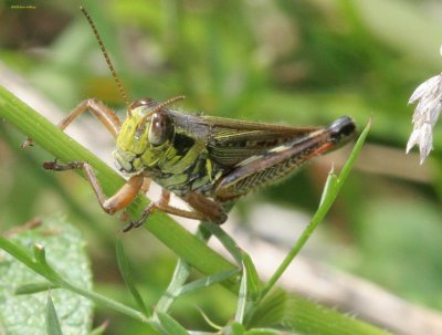 Headshot of a grasshopper this summer