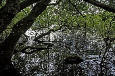 a Limousin mangrova