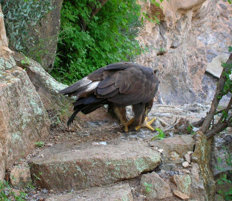 Golden Eagle eating