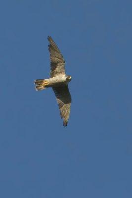 Peregrine falcon, Echandens, Switzerland, July 2008