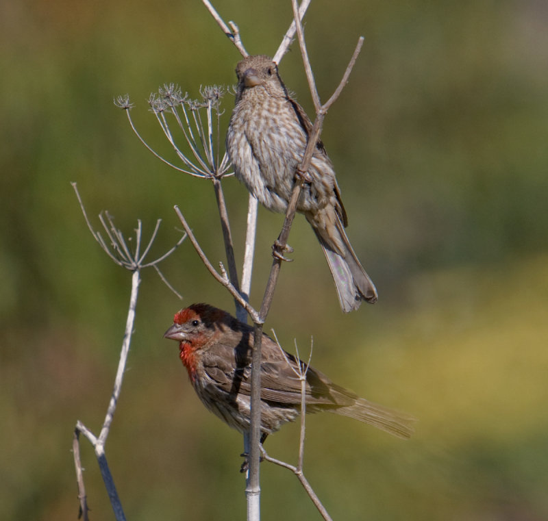 House Finches (Carpodacus mexicanus) on anise (Pimpinella anisum)