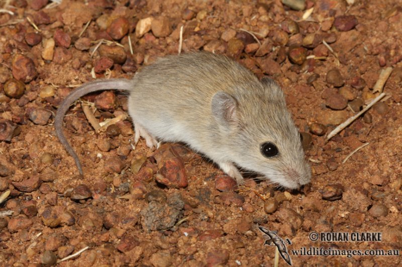 Tropical Short Tailed Mouse 2046 Jpg