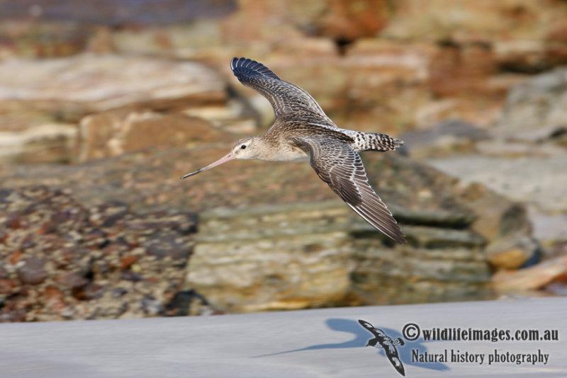 Bar-tailed Godwit 1514.jpg