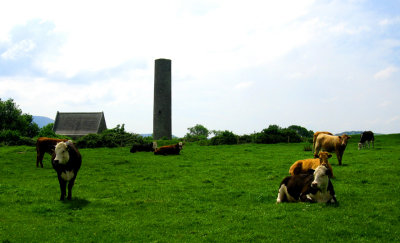 Cows near the ruins on the Holy Island
