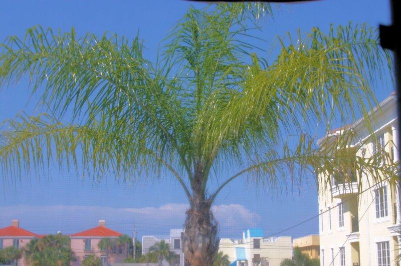 Calle Miramar tree in driveway...
