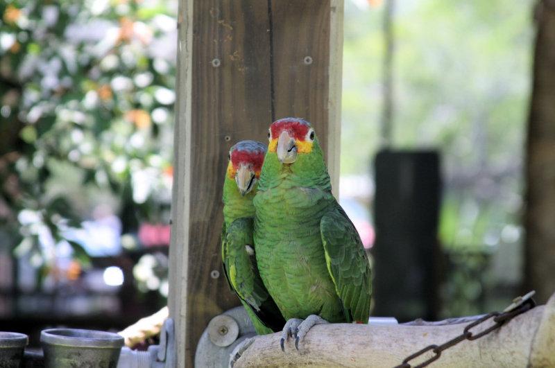 Lovebirds @ Jungle Gardens