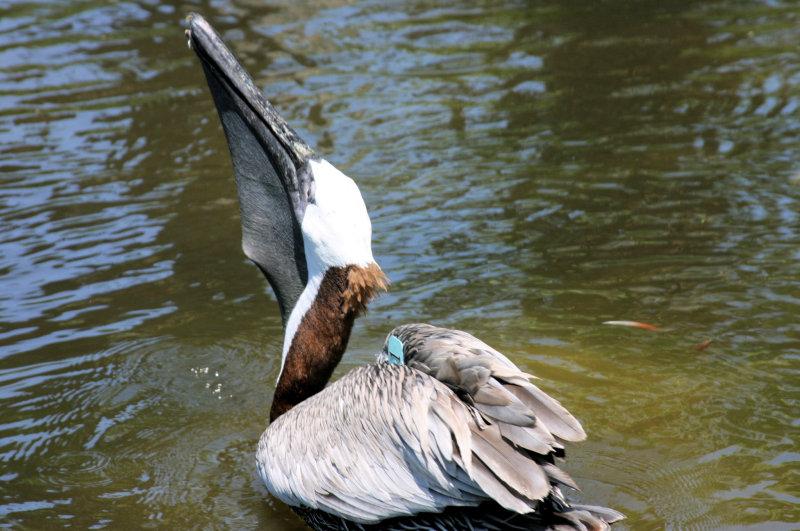 Pelican havin some lunch...