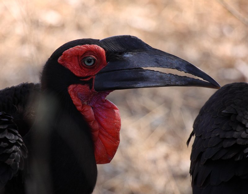 Southern Ground-Hornbill (adult)