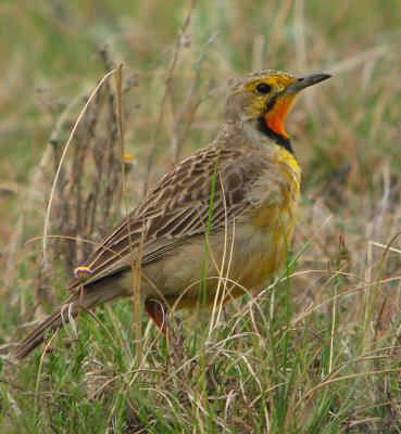 Orange-throated (Cape) Longclaw