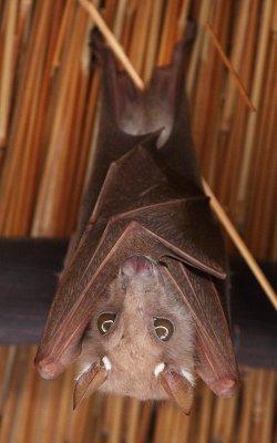 Epauletted Fruit-Bat
