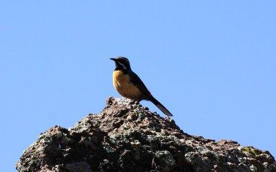 Drakensberg (Orange-breasted) Rock-jumper