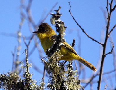 African (Dark-crowned) Yellow Warbler