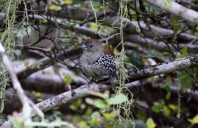 Pink-throated Twinspot (female)
