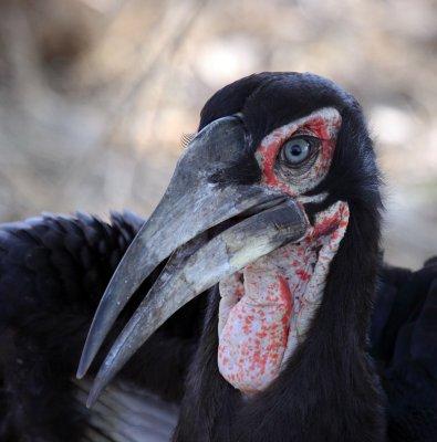 Southern Ground-Hornbill (juvenile)