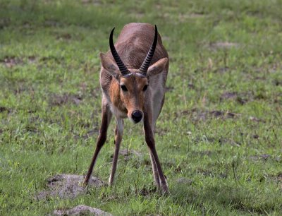 Common (Southern) Reedbuck