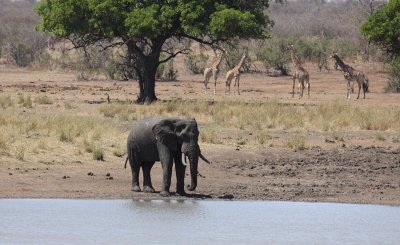 African Elephant and Giraffes
