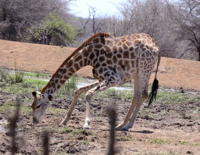 Giraffe (and Red-billed Oxpeckers)