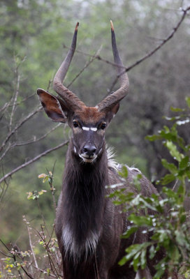 Nyala (male)