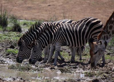 Burchell's Zebras and Giraffe